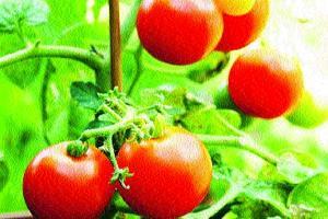 Tomatoes-jpg